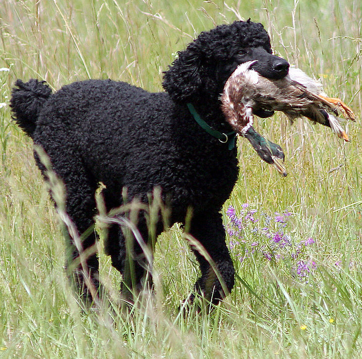 best hypoallergenic hunting dogs