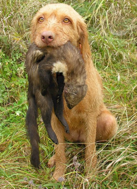hypoallergenic hunting dogs