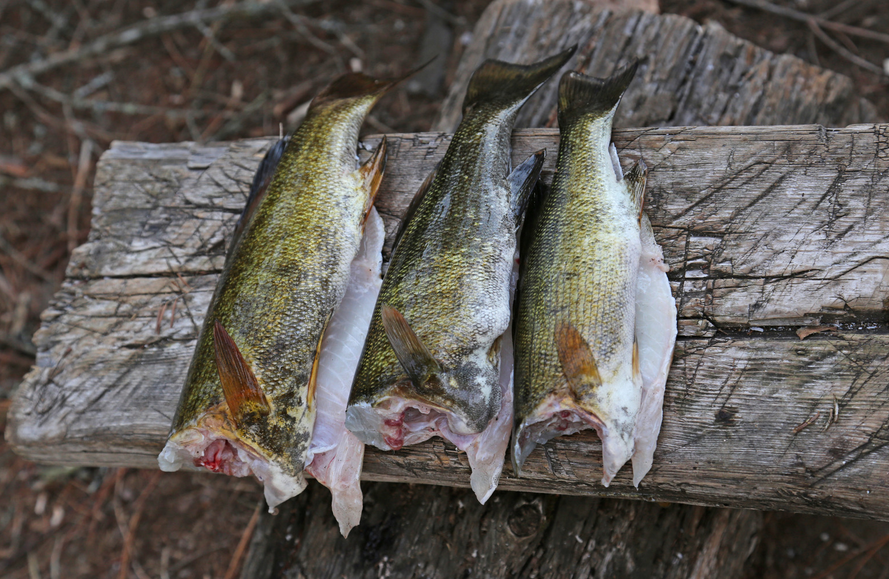 what size largemouth bass is best for eating