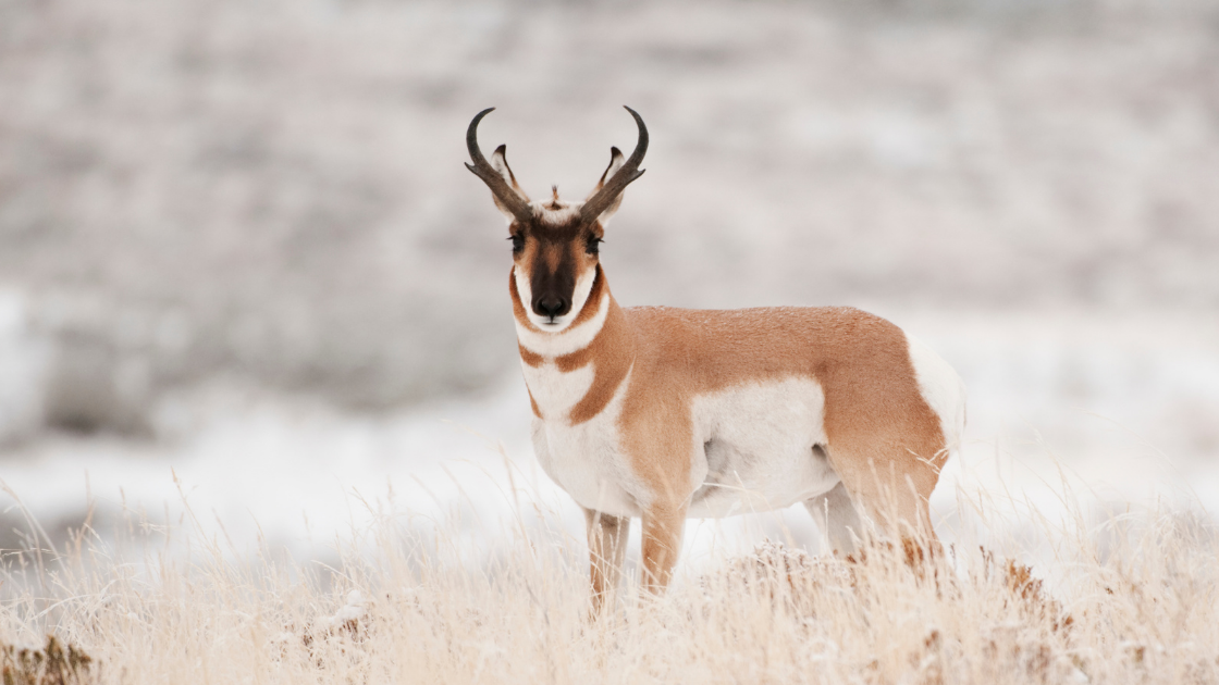 5 States For Over The Counter Antelope Tags!